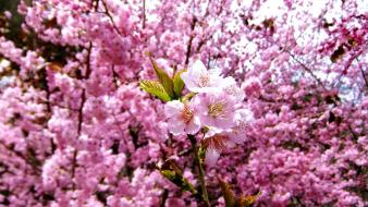 Nature cherry blossoms flowers spring pink wallpaper