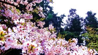 Nature cherry blossoms trees flowers spring pink wallpaper