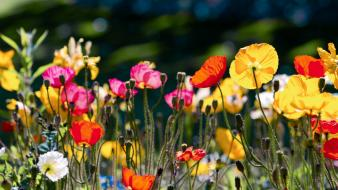 Nature multicolor flowers poppies wallpaper