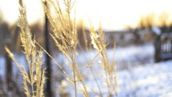 Nature winter snow wheat blurred wallpaper