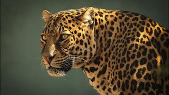 Predator animals leopards wallpaper