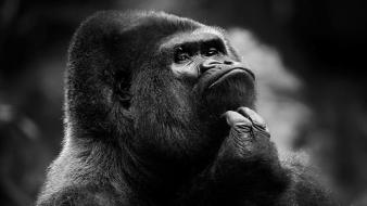 Thinking head monochrome gorillas monkeys monkey face wallpaper