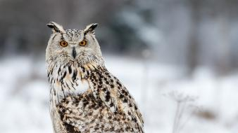 Winter birds owls blurred background wallpaper