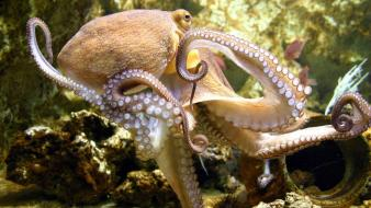 Animals octopuses wallpaper