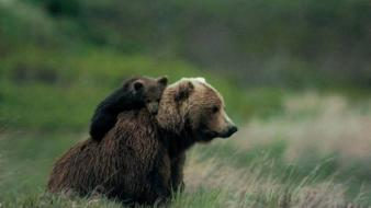Animals spine cubs bears baby wallpaper