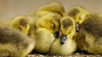 Birds ducks duckling bing baby wallpaper