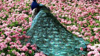 Birds feathers meadows pink flowers peacocks Wallpaper