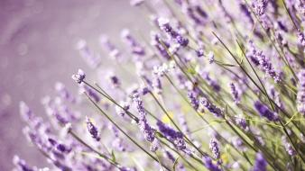 Flowers bokeh lavender depth of field purple Wallpaper