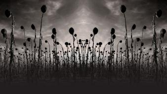 Monochrome album covers sunflowers dead can dance wallpaper