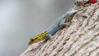 Nature animals lizards geckos reptiles wallpaper