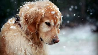 Nature snow animals dogs wallpaper
