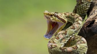 Snakes open mouth reptiles wallpaper