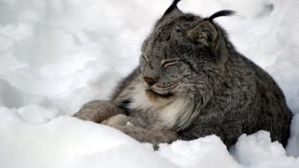 Snow animals lynx wallpaper