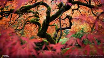 Trees leaves national geographic moss portland branches maple wallpaper