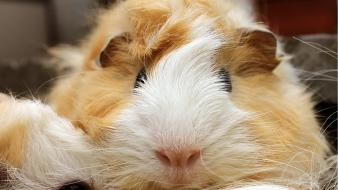 Animals guinea pigs mammals pet rodent wallpaper
