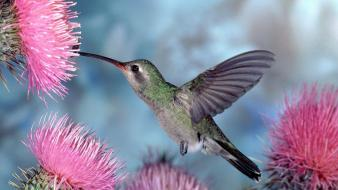 Birds hummingbirds duplicate cactus flowers Wallpaper