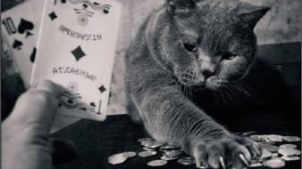 Cards cats animals poker wallpaper