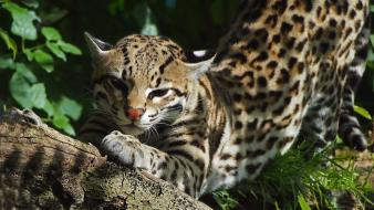 Cats animals ocelots wallpaper