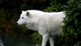 Nature animals arctic wolves wallpaper