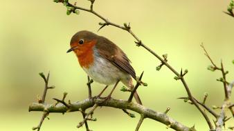 Nature birds animals robins wallpaper