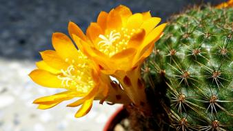 Nature flowers yellow plants sunlight cactus wallpaper