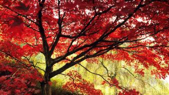 Trees autumn maple wallpaper