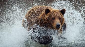 Water animals wet grizzly bears running wild wallpaper