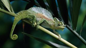 Animals chameleons camouflage reptiles Wallpaper