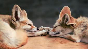 Animals sleeping fennec fox foxes wallpaper