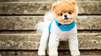 Boo The Cutest Dog wallpaper