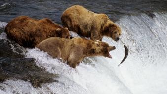 Brown Bears Alaska wallpaper