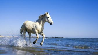 Camargue White Horse wallpaper