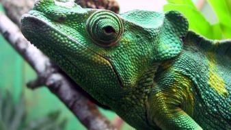 Green Iguana wallpaper
