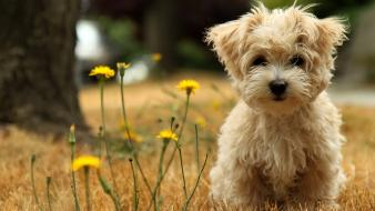 Havanese Silk Dog Hd wallpaper