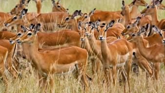 Herd Of Female Impala Masai Mara Kenya wallpaper