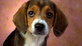 Puppy Eyes Beagle wallpaper