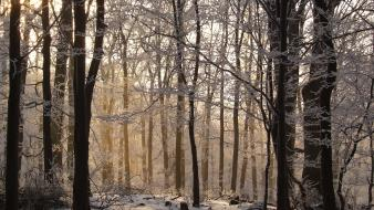 Snow trees forests Wallpaper