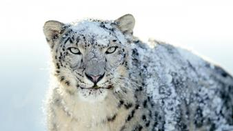 Snow White Leopard wallpaper