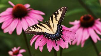Tiger Swallowtail Butterfly Purple Coneflower wallpaper