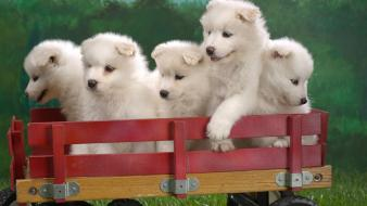 Wagonload Of Samoyed Puppies wallpaper
