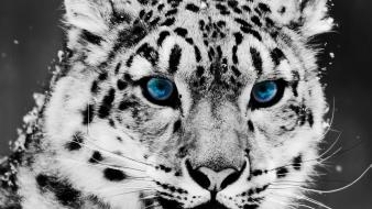 Animals eyes tigers wallpaper