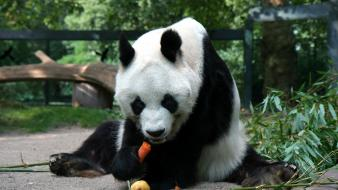 Animals panda bears carrots wallpaper