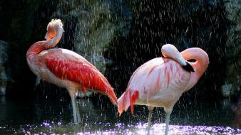 Birds animals flamingos wallpaper