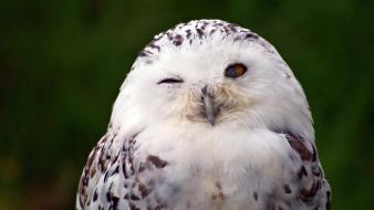 Birds owls snowy owl wink wallpaper