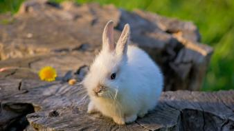 Bunnies animals fluffy pets wallpaper
