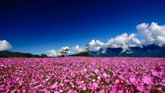 Cosmos flower flowers landscapes meadows mountains Wallpaper