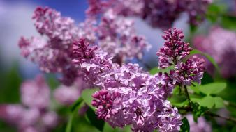 Flowers lilac purple violet wallpaper