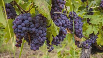 Grapes wine wallpaper
