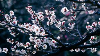 Japan blossoms bokeh branches flowers wallpaper