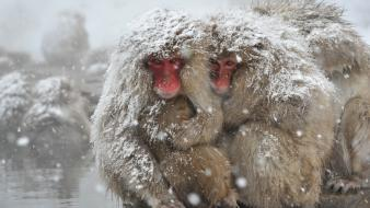 Snow animals monkeys japanese macaque wallpaper